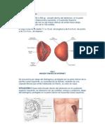 Anatomía del bazo