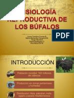 Fisiología reproductiva de los búfalos