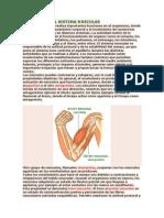 FISIOLOGÍA DEL SISTEMA MUSCULAR.docx