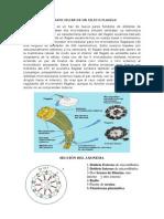Un flagelo eucariota de microtúbulos