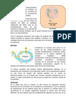 ETAPAS DE LA MITOSIS.docx