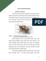 Lalat Rumah Housefly