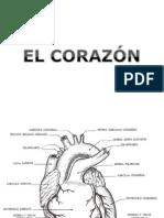 Clase de Sistema Circulatorio