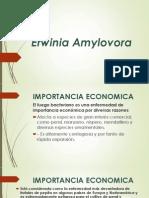 Erwinia Amylovora