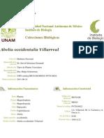 Abelia Occidentalis Villarreal