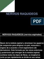 nerviosraquideos-130227222836-phpapp01
