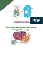 citoplasma_organelas