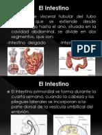El Intestino