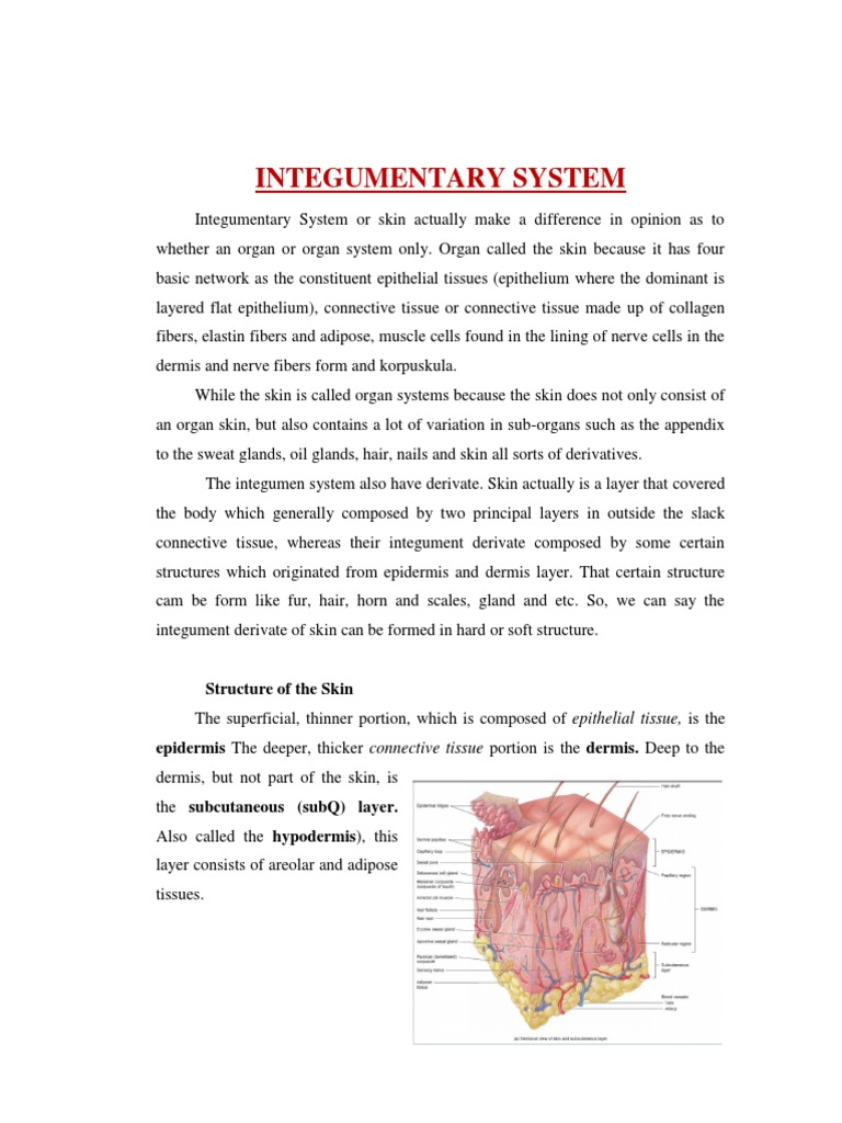 Integumentary System Integumentary System Nail Anatomy