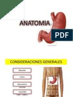 Estomago - Anatomia