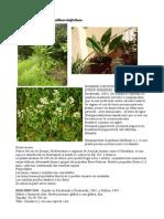 ROMPEPIEDRAS-Lepidium Latifolium.pdf
