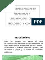 Plagas y Enfermedades en Gramineas y Leguminosas