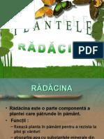 partile plantelor radacina