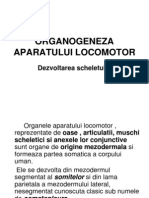 Organogeneza Aparatului Locomotor