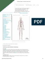 Cardiovascular System - Human Veins, Arteries, Heart