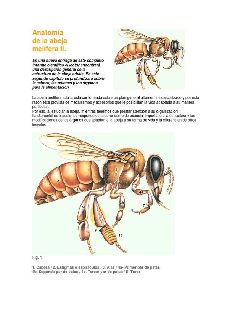 Anatomía de La Abeja Melifera