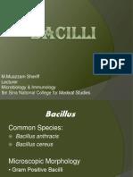 5- Bacilli