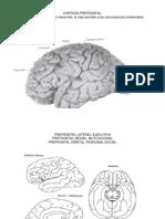 Bases Anatómicas de La Memoria de Trabajo