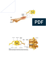 80-spinalcordandbrain