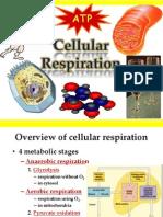 Mitochondria Cellular Respiration