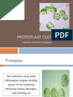 Kultur Jaringan AT2014 Protoplast Culture