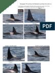 North Atlantic - Newfoundland Orca ID
