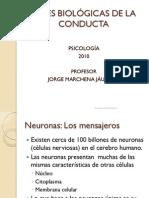 Capituloiibasesbiologicasdelaconducta 100212195753 Phpapp01 (1)