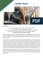 Ficus Elastica (Rubber Plant) Gardening