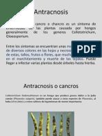 Antracnosis - Copia (2)