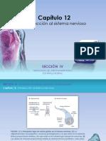 Raff Fisiologia Figuras c12 Sistema Nervioso