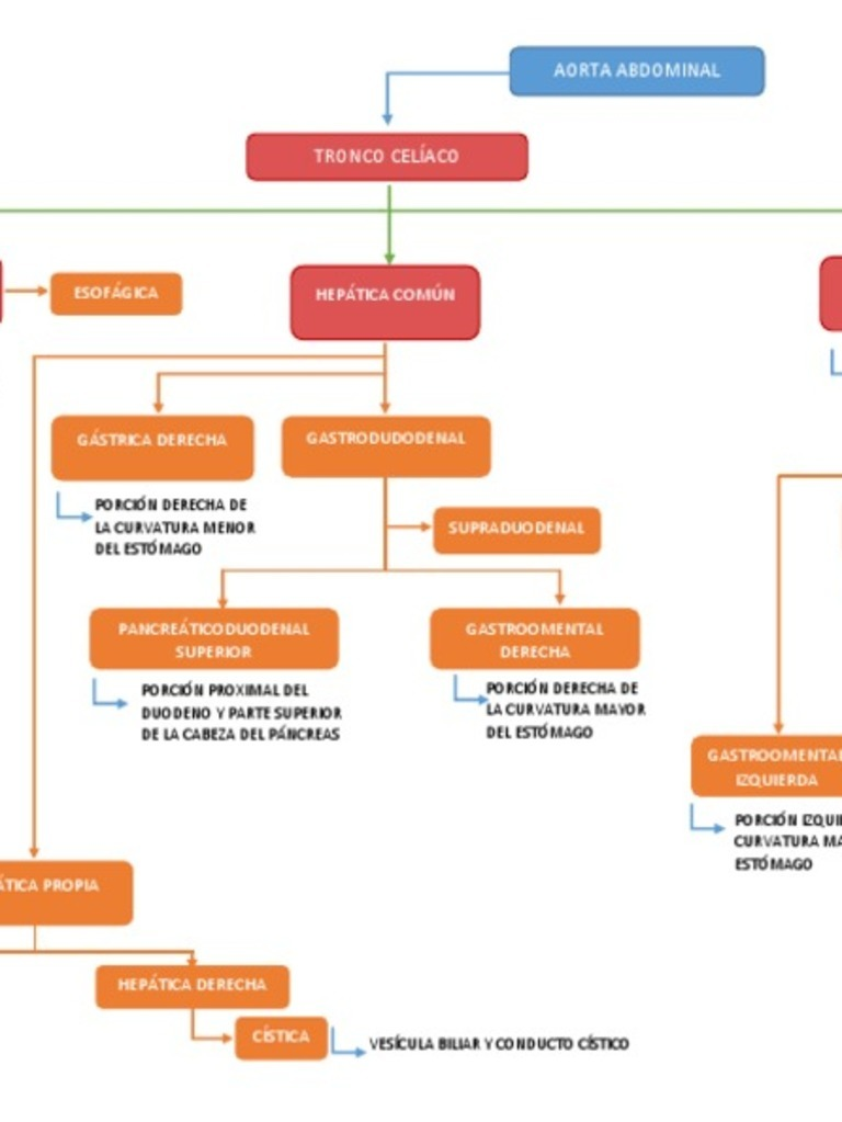 RAMAS DEL TRONCO CELÍACO /ARTERIAS DEL INTESTINO PROXIMAL