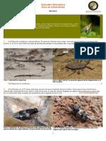clave infraordenes hehemiptera.pdf