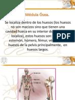 Medula Osea Trabajo de Hist