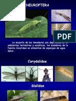 F Neuroptera Familias
