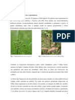 cyperaceae.docx