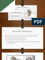 Embriologia, Desarrollo Del Duodeno