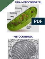4.MITOCONDRIA