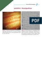 Erysipelothrix