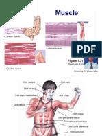 Skeletal Muscle.3