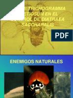 USO DE TRICHOGRAMMA PRETIOSUM EN EL CONTROL DE DIATRAEA SACCHARALIS