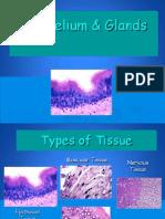 Epithelium and Glands