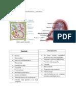 Diferencia entre Celula Eucariota y Procariota