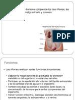 Sistema Renal Histologia2