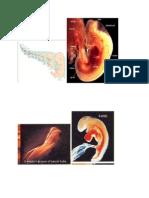 gambar embrio