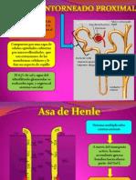 Túbulo Contorneado Proximal y Asa de Henle