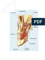 Anatomia Ciru Musculos Graf
