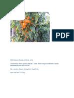 Chile Habanero Naranja de Westar Seeds