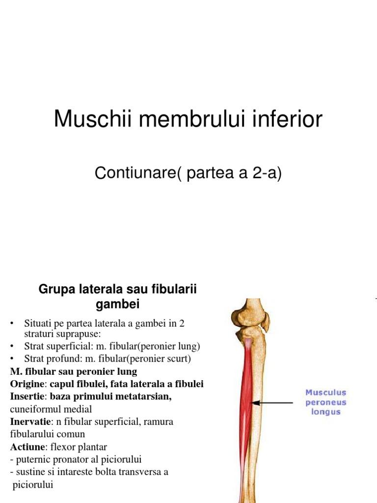 flexia plantara muschi)