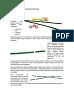 Construcción de Un Modelo de Cromosoma