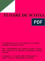 Floarea de Scotia...